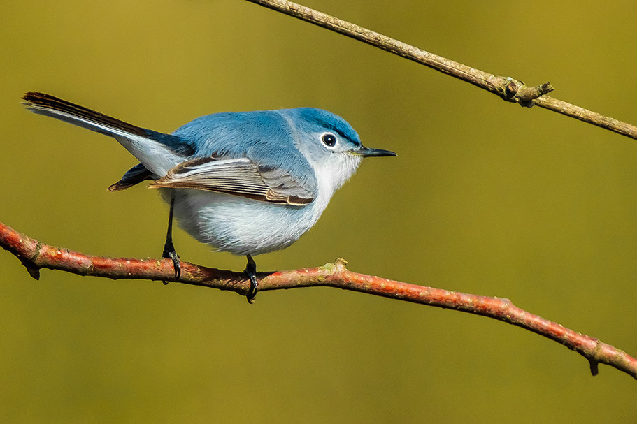 Blue-Grey Gnatcatcher. By Stephen Geisel, Love-fi