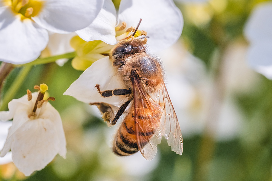 Morning Honey Bee. By Stephen Geisel, Love-fi