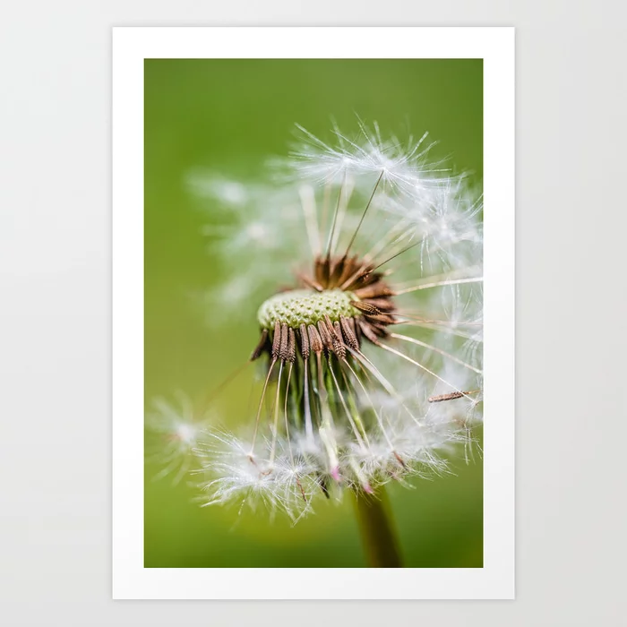 Dandelion Dispersal. Photograph Art Print by lovefi