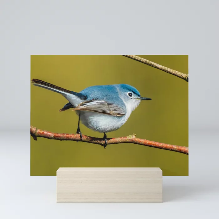 Teeny-Tiny Bird, Blue-Gray Gnatcatcher Photograph Mini Art Print by lovefi