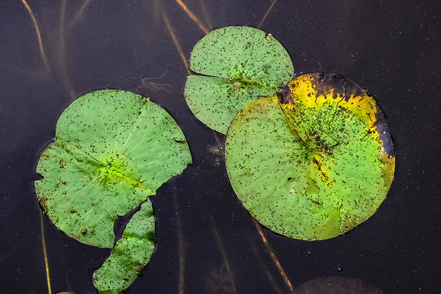 Freckled Lily Pads. By Stephen Geisel, Love-fi