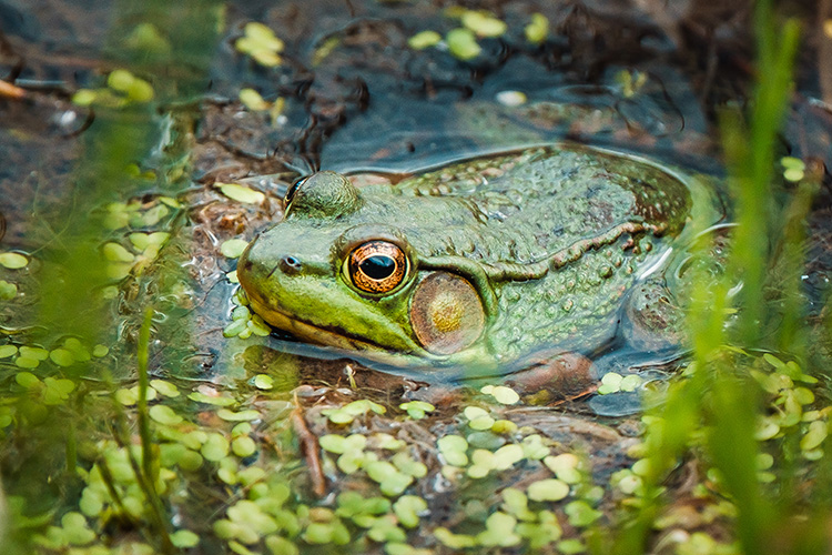 Green Frog In a Pond. By Stephen Geisel, Love-fi