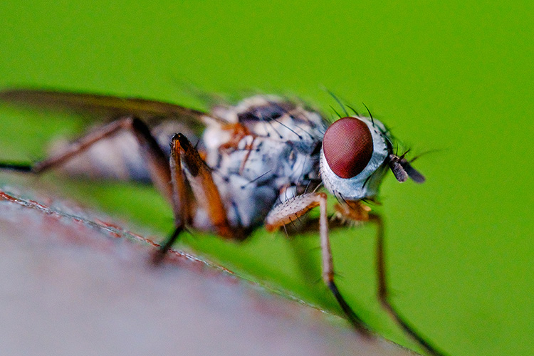 Red Eye'd Little Fly. Macro Photograph By Stephen Geisel, Love-fi
