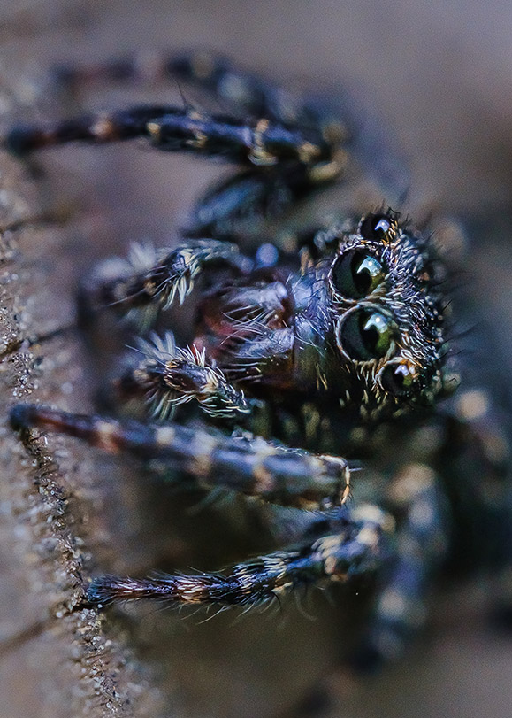 Tiny Dark Jumping Spider. Macro Photograph. By Stephen Geisel, Love-fi