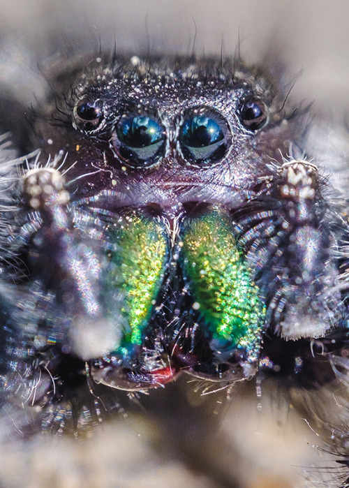 Lil' Hairy Face Jumping Spider. Macro Photograph By Stephen Geisel, Love-fi