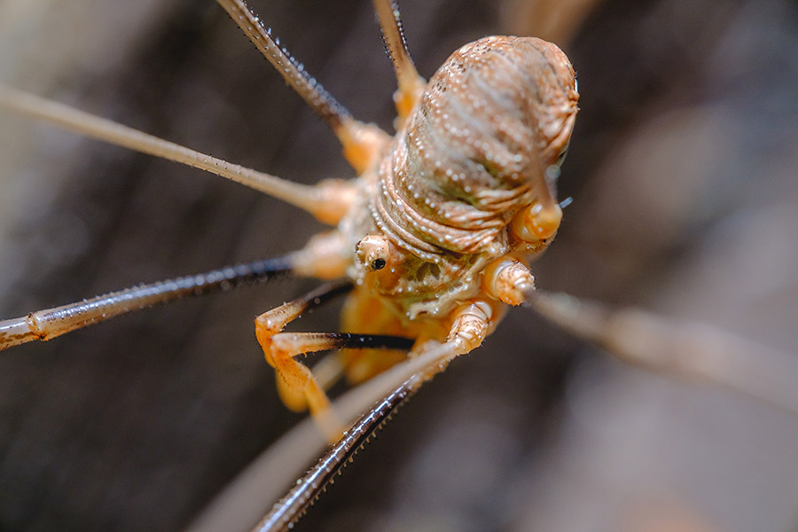 Daddy-Long-Legs Harvestmen V, Macro Photograph By Stephen Geisel, Love-fi