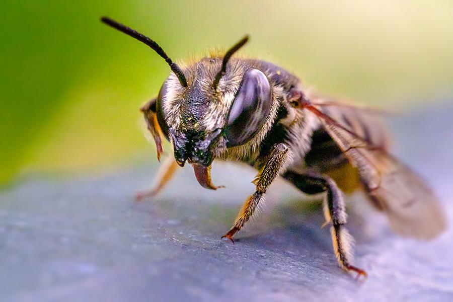 Good Doggy! Macro Sand Wasp Photograph. By Stephen Geisel, Love-fi