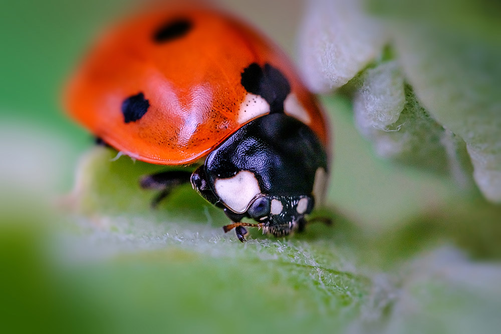 Happy Little Ladybug, Macro Photograph By Stephen Geisel, Love-fi