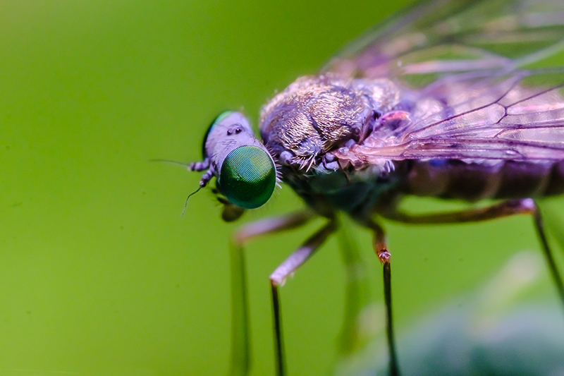 Little Green Eye'd Fly. Macro Photograph By Stephen Geisel, Love-fi.com