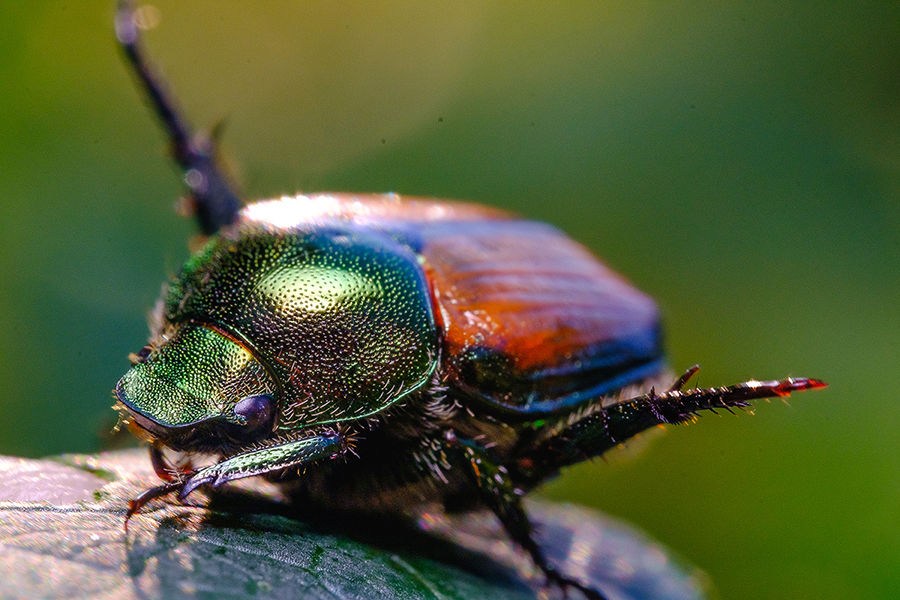 Scarab Beetle Yoga. Macro Photograph By Stephen Geisel, Love-fi