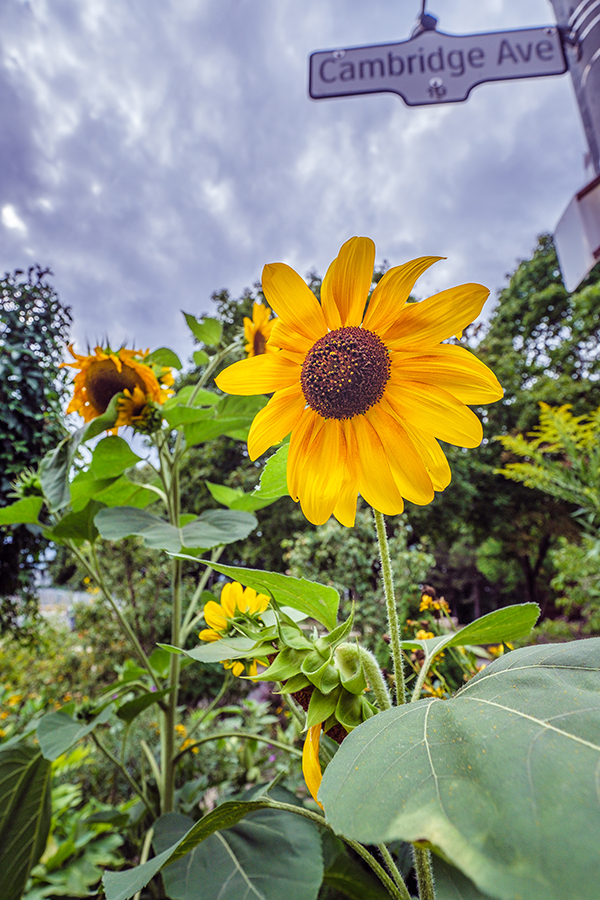 Sunflowers at Cambridge Ave By Stephen Geisel, Love-fi