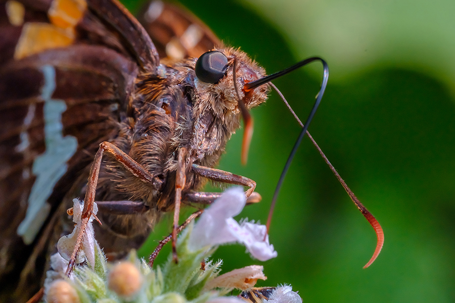 Happy Silver Spotted Skipper Butterfly. Macro Photograph By Stephen Geisel, Love-fi