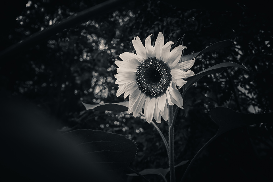 Sunflower in the Dark. Black and White Photograph. By Stephen Geisel, Love-fi