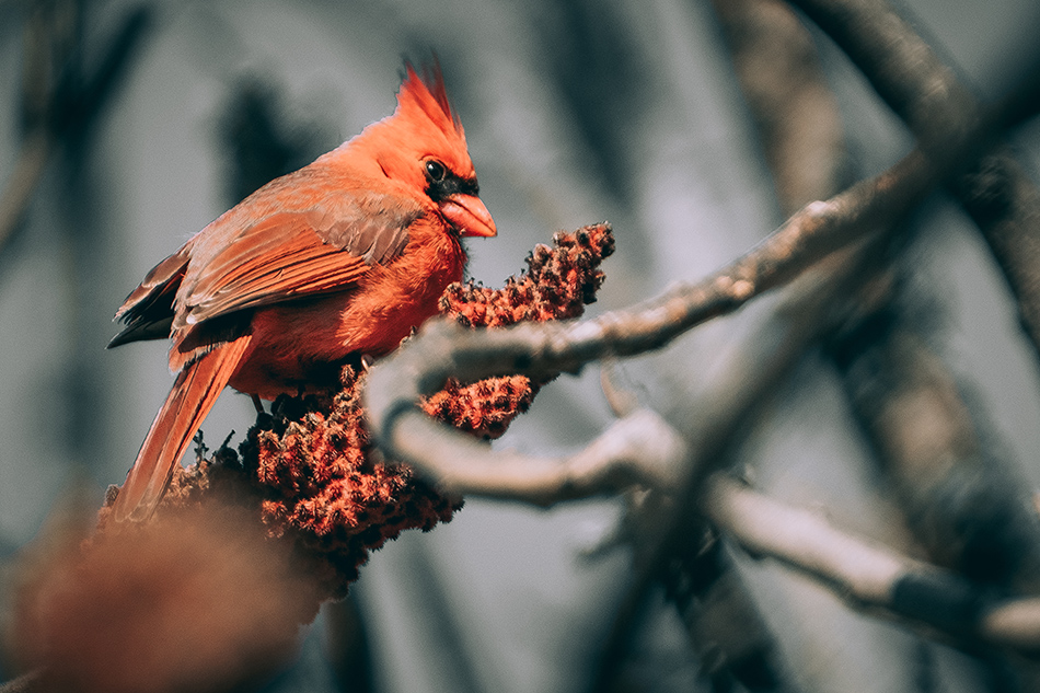 Beautiful Cardinal Sumac. By Stephen Geisel, Love-fi