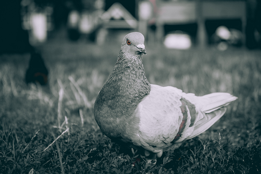 Neighborhood Pigeon. By Stephen Geisel, Love-fi