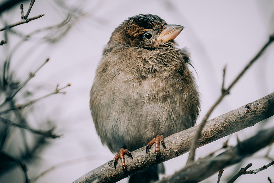 A Female House Sparrow, Staying Warm. By Stephen Geisel, Love-fi