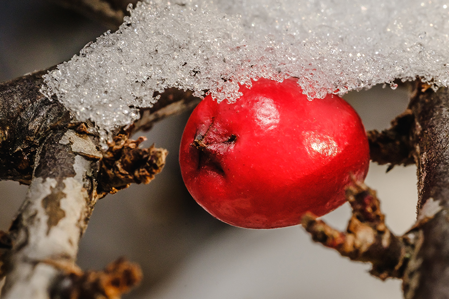 Rockspray Red Berry in The Snow. by Stephen Geisel, Love-fi