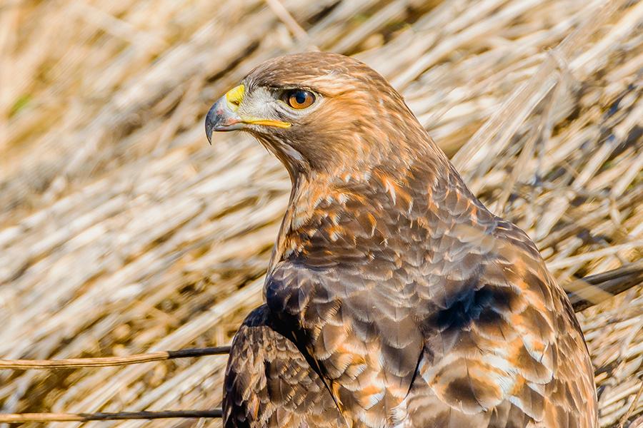 Hawk on a Hunt. By Stephen Geisel, Love-fi