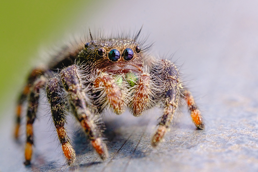 Springtime Jumping Spider Macro Photograph. By Stephen Geisel, Love-fi