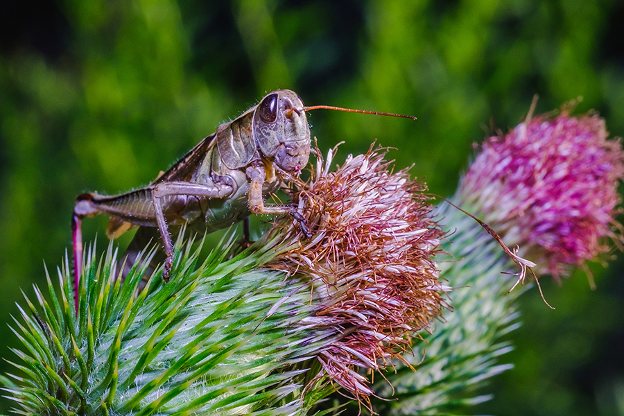 Snacking Grasshopper. Macro Photograph. By Stephen Geisel, Love-fi