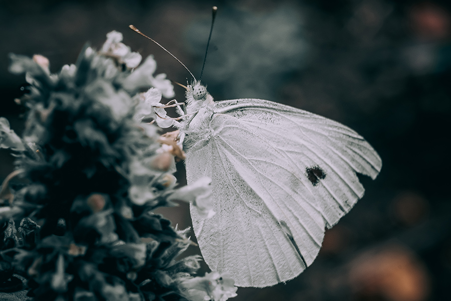 Noir Butterfly. Macro Photograph. By Stephen Geisel, Love-fi