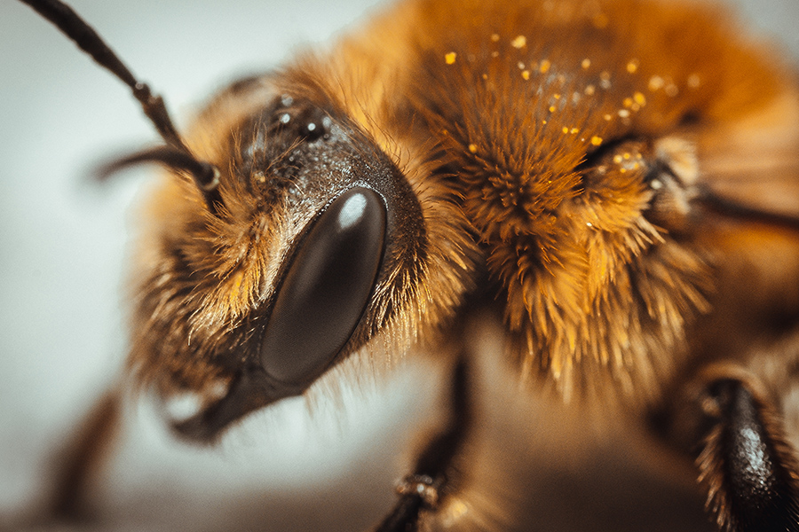 Worker Bee. Macro Photograph. By Stephen Geisel, Love-fi