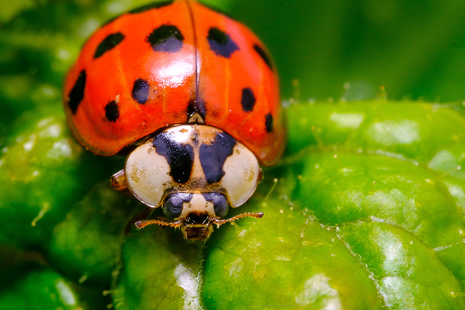 lil' Ladybug, Macro Photograph By Stephen Geisel, Love-fi