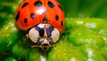 Lady bug macro Photo