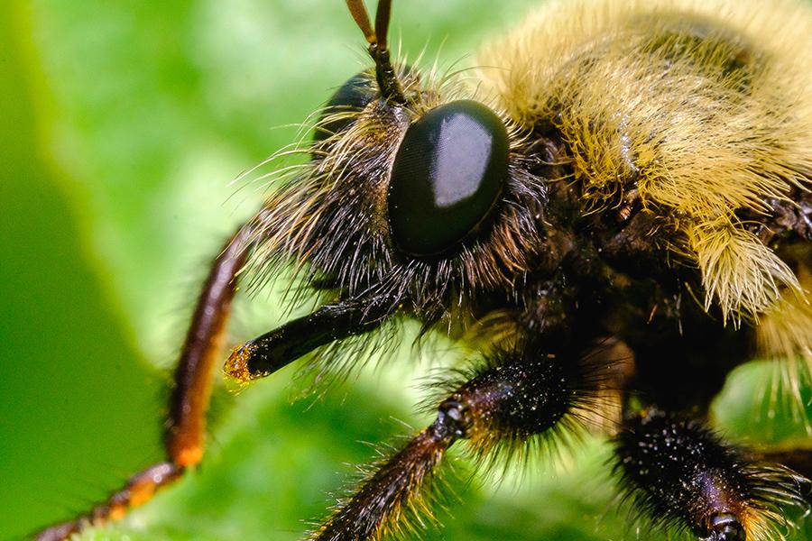 Fuzzy Bumblebee Macro Photograph. By Stephen Geisel, Love-fi