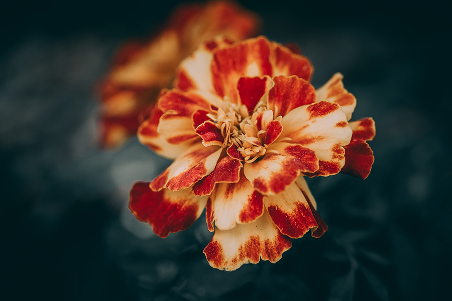 French Marigold Flower Photo By Stephen Geisel, Love-fi
