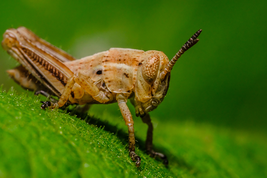 Young Grasshopper Macro Photograph. By Stephen Geisel, Love-fi
