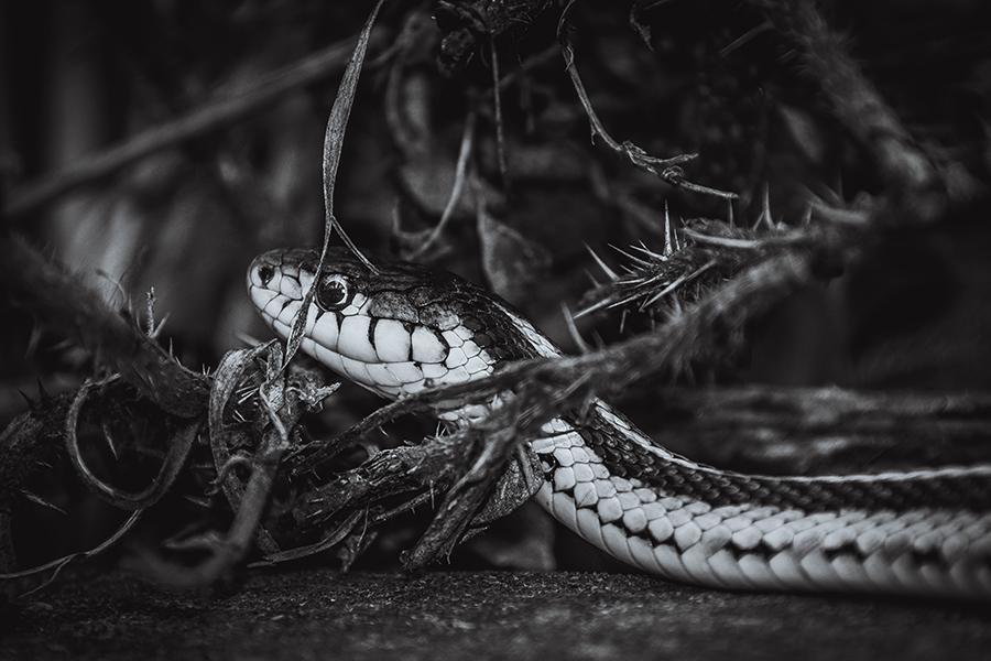 Serpent in the Bush. By Stephen Geisel, Love-fi