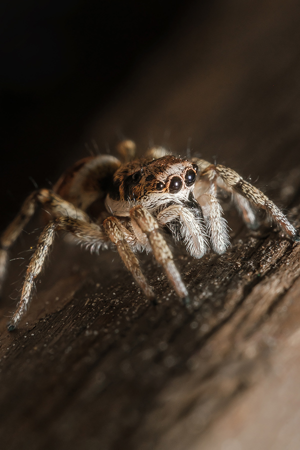 Emerging From the Dark. Jumping Spider Macro Photograph By Stephen Geisel, Love-fi