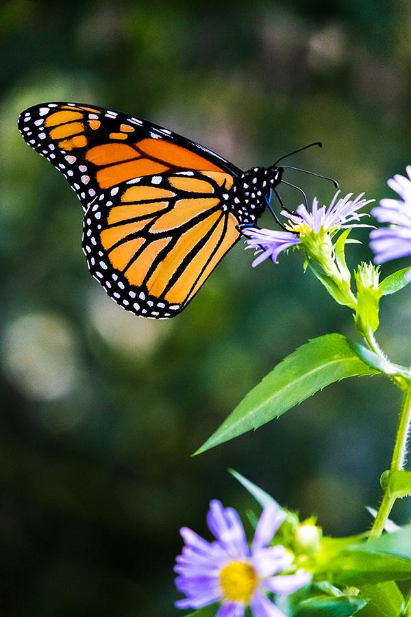 Beautiful Monarch Butterfly Resting Wings  By Stephen Geisel, Love-fi