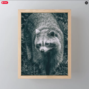 Curious Raccoon, Black and White Photograph Art Print. On Society6