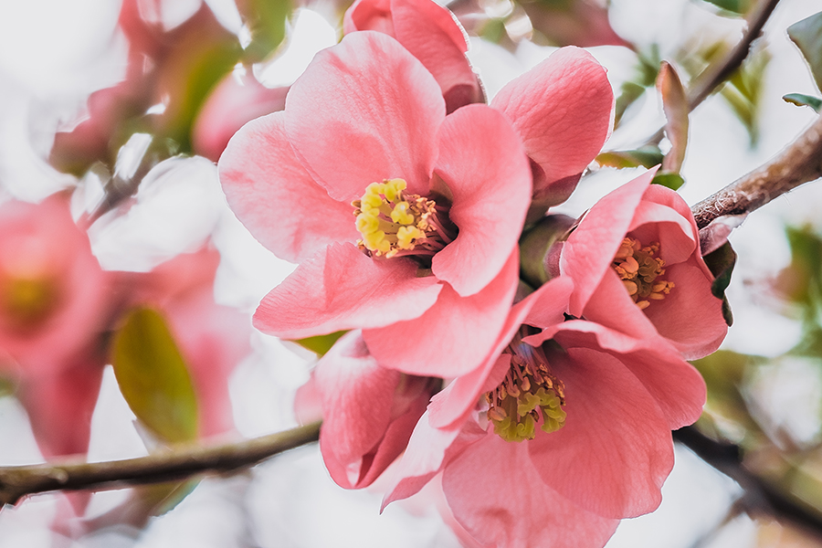 Flowering-Quince Blossom. By Stephen Geisel, Love-fi