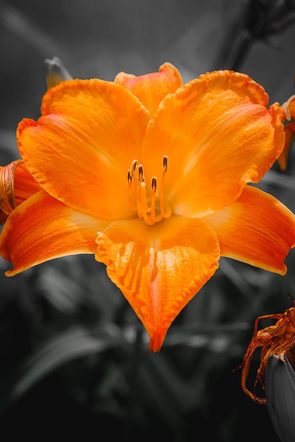 Orange Lily Flower Photograph. By Stephen Geisel, Love-fi