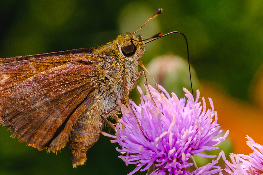 Beautiful Skipper Butterfly in Search of Nectar. By Stephen Geisel, Love-fi