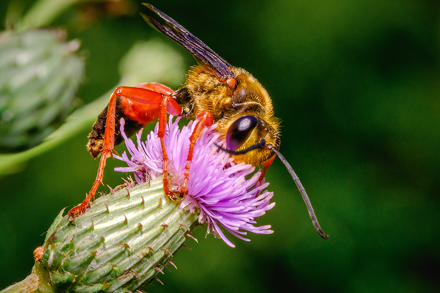 Great Golden Digger Wasp and Thistle Photograph. By Stephen Geisel, Love-fi