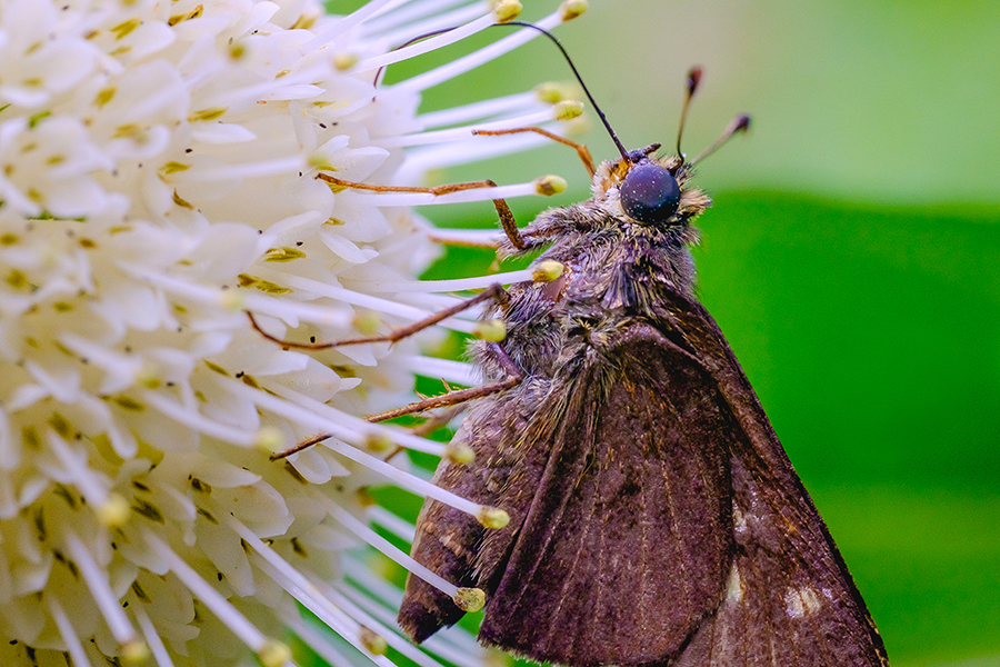 Skipper Butterfly in the Garden. By Stephen Geisel, Love-fi