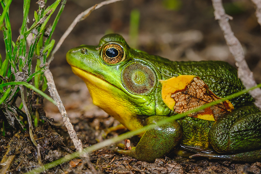 Big Ol' Green Frog Photograph. By Stephen Geisel, Love-fi