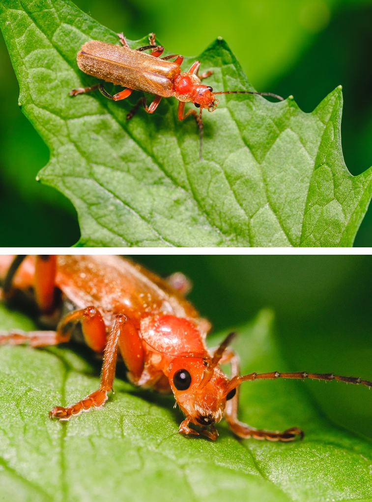 Red Soldier Beetle Far Away and Close up. By Stephen Geisel, Love-fi