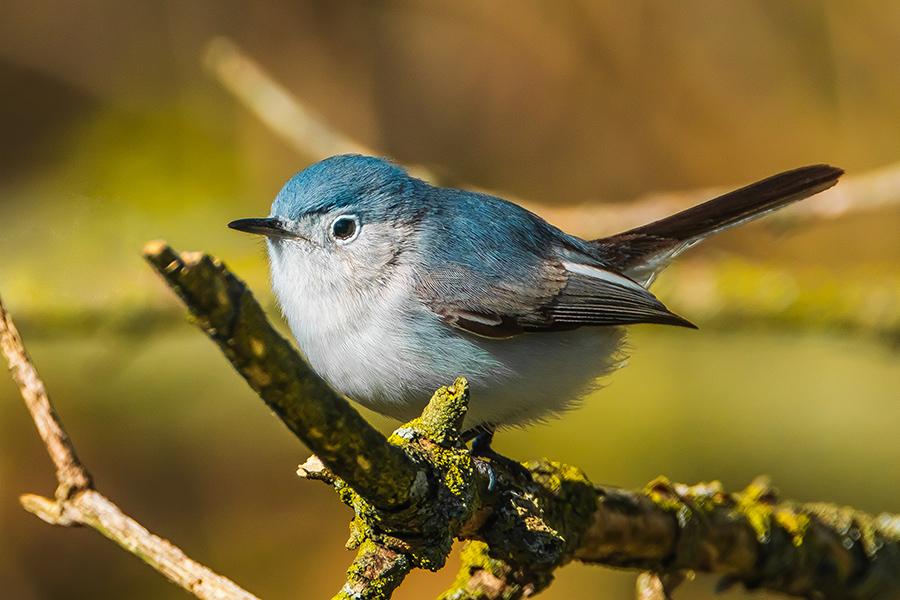 Blue Grey Gnatcatcher Photograph By Stephen Geisel, Love-fi