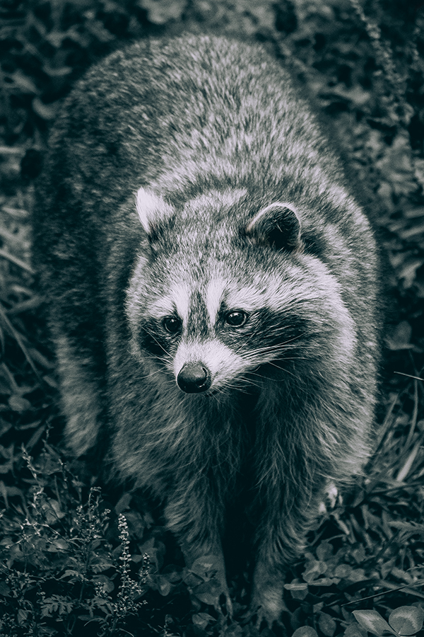 Curious Raccoon, Black and White Photograph. By Stephen Geisel, Love-fi